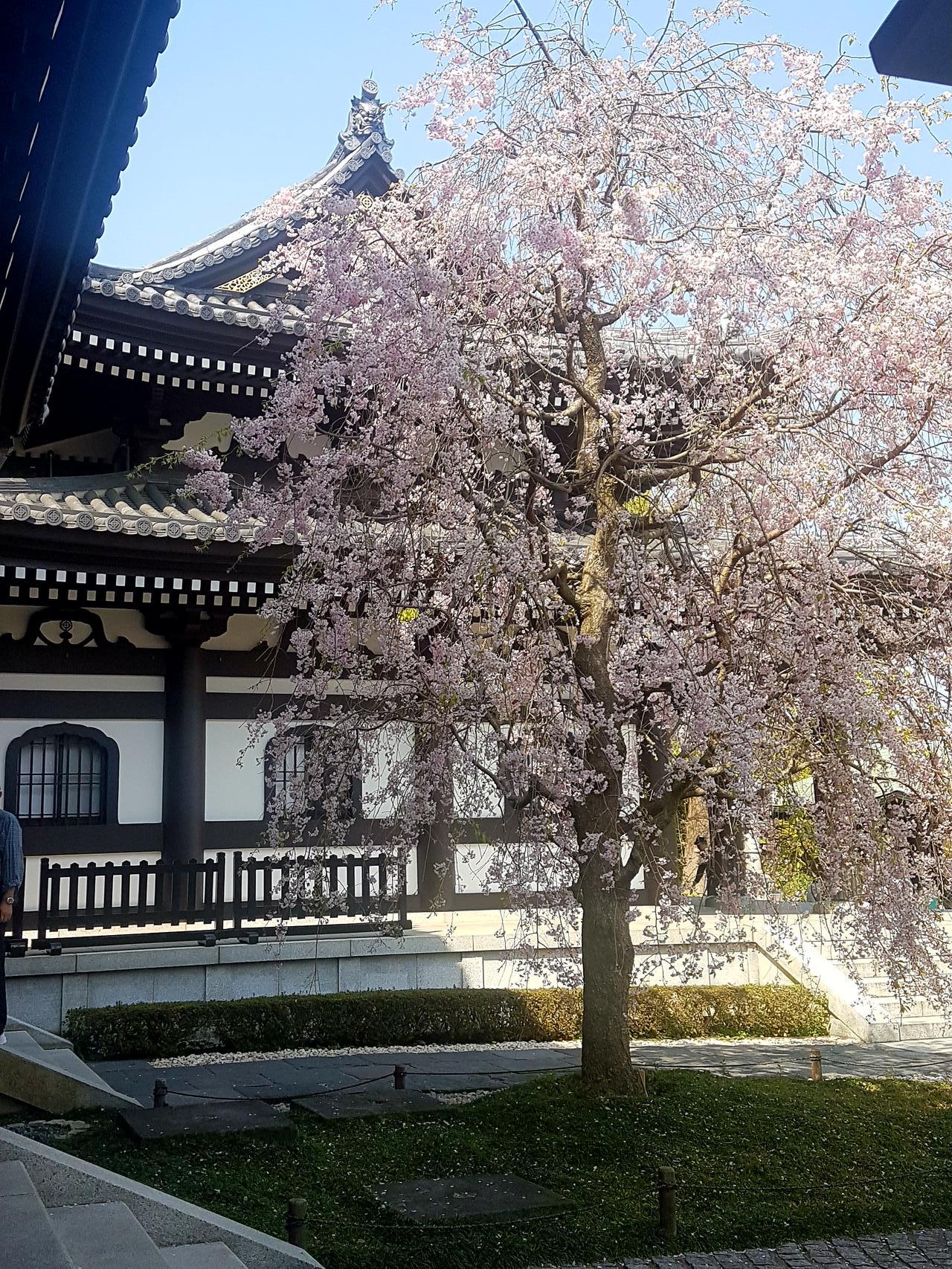 Kamakura wisnie