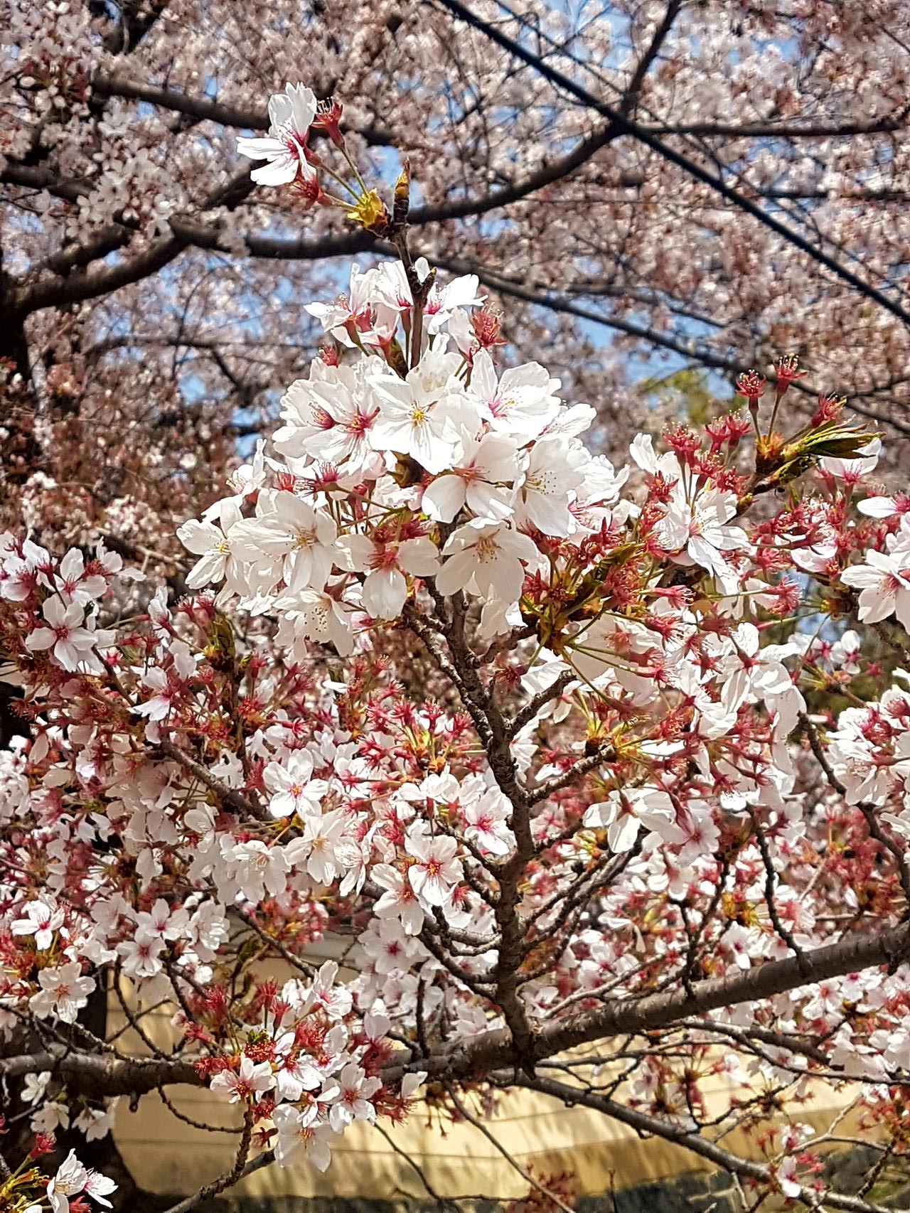 wisnie Japonia