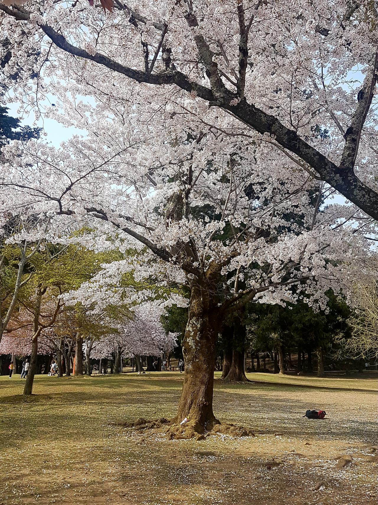 Nara ogrody i wisnie Japonia