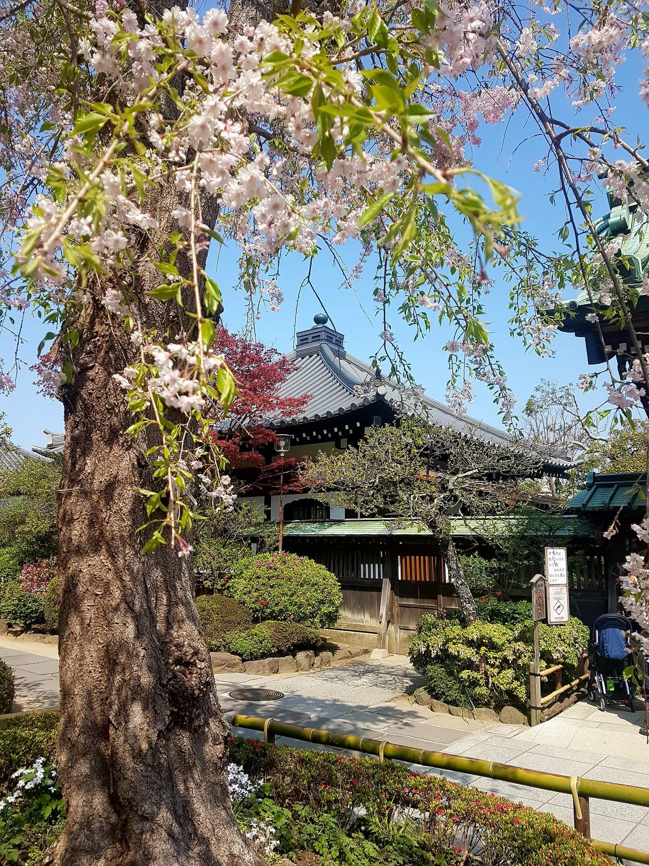 Kamakura wisnie Japonia