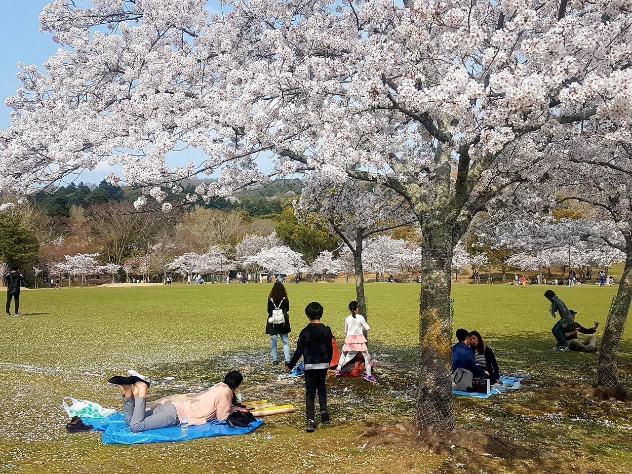wisnie Nara Japonia piknik