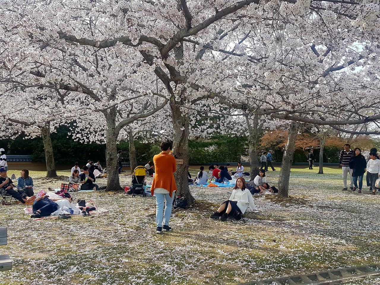 Nara wisnie Japonia piknik