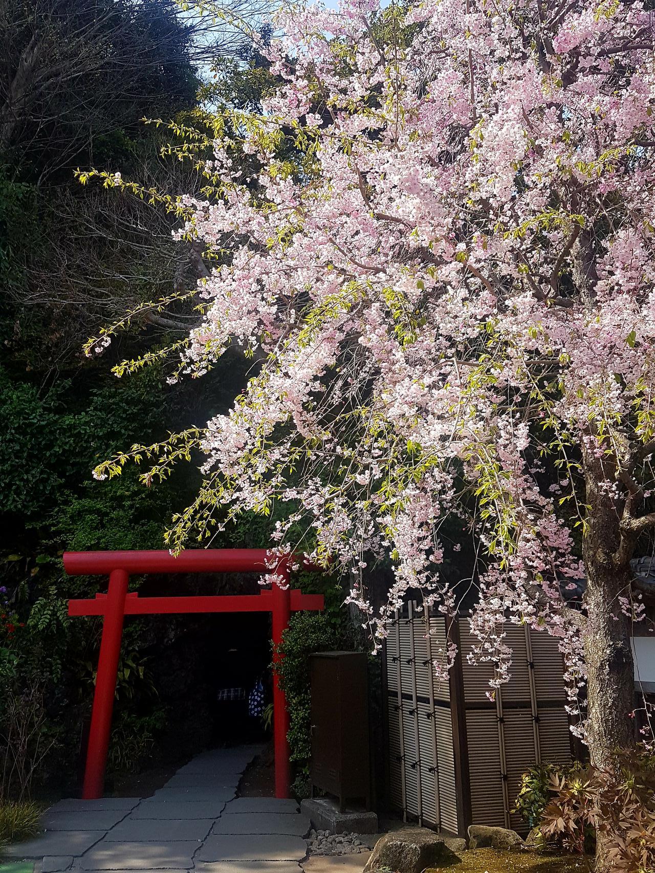 wisnie Kamakura Japonia