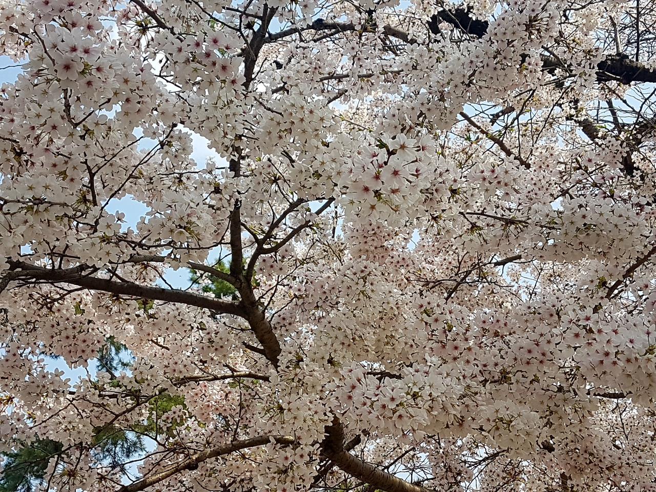 sakura Japona