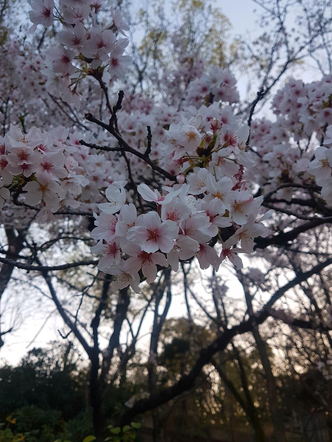wisnie Osaka japonia