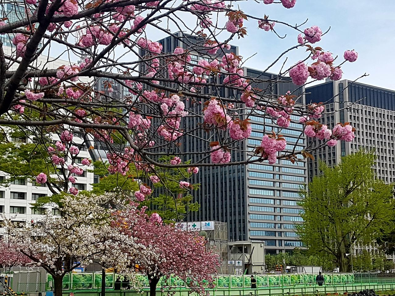 wisnie Tokio Japonia