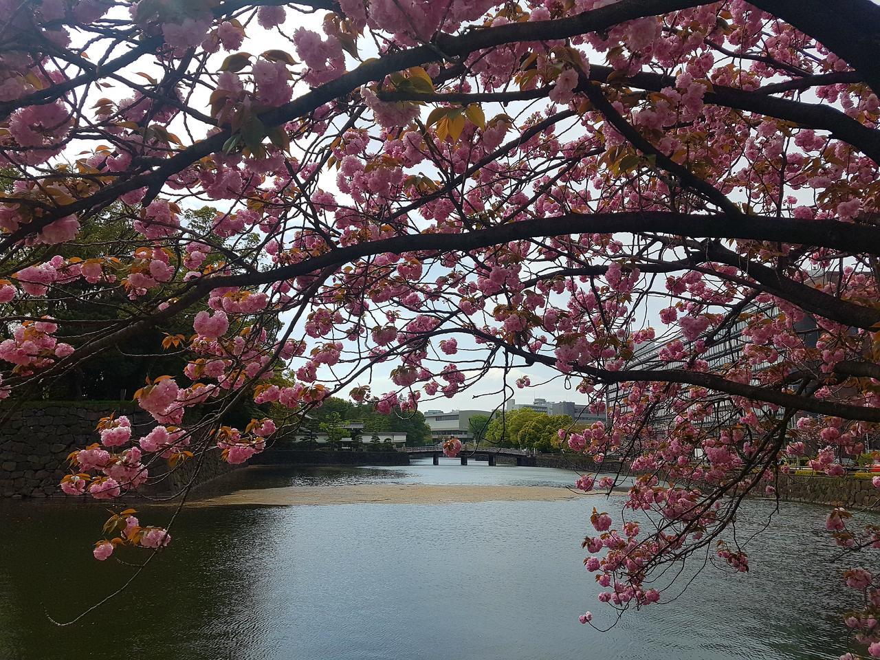 wisnie ogordy cesarskie Tokio Japonia
