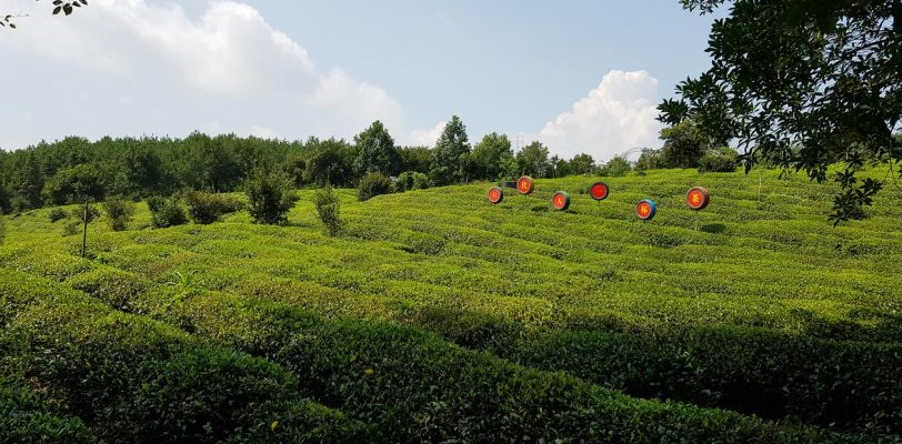 pole herbaty chiny Huangshan