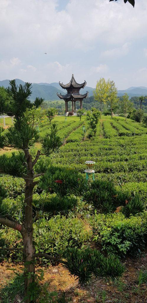 pola herbaty huang shan chiny