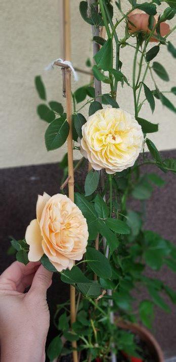 jadalne roze