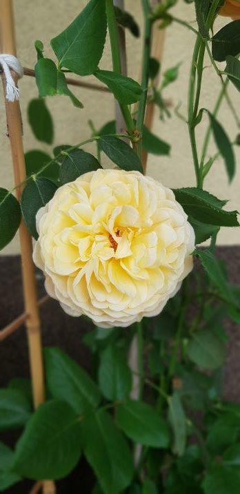 jadalna roza